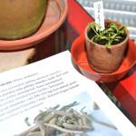 Silene undulata, capensis