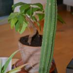 Trichocereus pachanoi, tagaplaanil Banisteriopsis caapi
